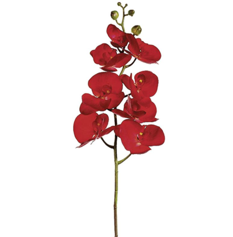 Phalaenopsis - Red