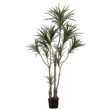 Dracaena Marginata Tree