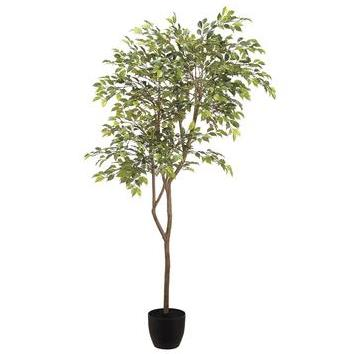 Mini Ficus Tree - Potted